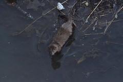 Spish splash (torreyblevins) Tags: mink wildlife pond