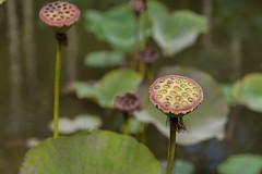 Ile Maurice 2016 - 02 --140 (bebopeloula) Tags: 2016 ilemaurice jardindepamplemousses mauritius nikond700 exotique fleur lotus nikonflickraward photo robert crosnier