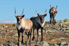 Caribous, Mont Jacques-Cartier (Liberté55) Tags: faune parcdelagaspésie gaspésie caribou montjacquescartier