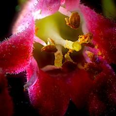 Lumière (domiloui) Tags: flower macro nature fleur panasonic lumiere technique campagne hdr couleur insolite ambiance abstrait bourgeon nuances documentaire petale cooliris proxxy abaucourt blinkagain