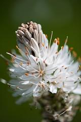 Fioritura narcisi a Pian della Cavalla (emasorre88) Tags: parco della pian antola fioritura narcisi cavalla