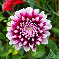 Square format Dahlia (saxonfenken) Tags: dahlia flower garden squareformat purpleandwhite gamewinner 6864 challengeyouwinner pregamewinner july2014 6964flower