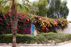 buganvillas (ika_pol) Tags: africa flower geotagged bougainvillea agadir morocco