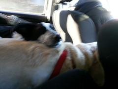 Driving (missjessicab) Tags: dogs car olivia maxxie