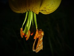 Hanging by a stamen..x (Lisa@Lethen) Tags: flower nature night scotland woods lily wildlife moth stamen swift nationalmothweek