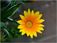 Some more Flowers # 3 (MaxUndFriedel) Tags: flowers sun flower home nature garden season seasons blumen passionflower flowerpassion wonderfulworldofflowers