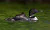 Loon and babies (Phiddy1) Tags: baby ontario canada birds ngc npc loon commonloon babyloon loonwithbabies
