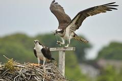 _DSC1093 (Putneypics) Tags: summer ma capecod newengland breeding falmouth osprey pandionhaliaetus nesting fishhawk pandion surfdrive putneypics