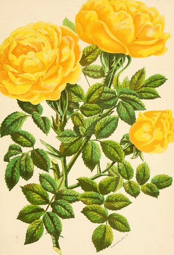 """Image from page 90 of """"Roses and rose culture .."""" (1892)"""