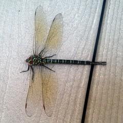 Swamp Darner (C r u s a d e r) Tags: nature bug insect newjersey dragonfly nj oceancity darner iphone odonata
