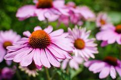 University of Oxford Botanic Garden (lostinavision) Tags: summer plants flower colour green nature beautiful garden university natural oxford botanic nikond700035mm andreearaduphotography
