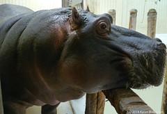 Patience is a virtue (karenblakeman) Tags: budapest hungary august 2014 budapestzoo zoo hippopotamus hippopotamusamphibius hippo vizilio waiting patience smileonsaturday beautyofthebeast