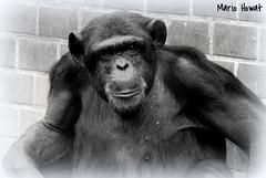 Retrato 3 (mariohowat) Tags: blackandwhite bw blancoynegro monochrome riodejaneiro zoo natureza pb macaco zoolgico animais pretoebranco riozoo animaisselvagens chipanz