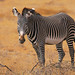 Grevy's Zebra stallion