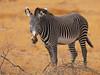 Grevy's Zebra stallion (Rainbirder) Tags: kenya ngc samburu grevyszebra equusgrevyi buffalosprings rainbirder