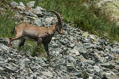 Le seigneur des Alpes (Eric Penet) Tags: france animal montagne alpes van mammifre sauvage sommet bouquetin isre mle