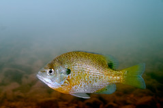 Blue Gill (bobc4) Tags: fish unknown courtois