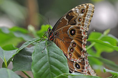 Owl butterfly (RdigerF) Tags: butterfly owlbutterfly mariposa schmetterling bananenfalter rememberthatmomentlevel4 rememberthatmomentlevel1 rememberthatmomentlevel2 rememberthatmomentlevel3 rememberthatmomentlevel7 rememberthatmomentlevel9 rememberthatmomentlevel5 rememberthatmomentlevel6 rememberthatmomentlevel8 rememberthatmomentlevel10 schmetterlingsfarmsteinhude