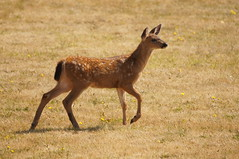 A Day at Fort Casey (Tjflex2) Tags: statepark family usa nature walking outdoors washington wildlife sightseeing deer fawn fortcasey