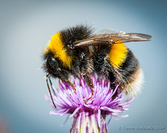 White-Tailed Bumblebee (Trev_Birtwistle) Tags: england macro insect bee dorset 2014 syncflash badburyrings sb900 trevb