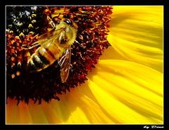 """78-""""Mon dessert  moi !..."""" (gio.dino3) Tags: macro fleur dino ape fiore girasole tournesol abeille giodino3"""
