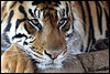 Sumatran tiger (Panthera tigris sumatrae) (Xavi BF) Tags: london sumatra zoo tiger xavier sumatrantiger tigris tigre mammalia sumatran londonzoo panthera pantheratigris carnivora felidae bayod sumatratiger zsl pantheratigrissumatrae sumatrae farré tigredesumatra canoneos60d tamron70300vcusd szumátraitigris szumátrai xavierbayod xavierbayodfarré