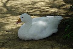 SUN&GREEN (ddsnet) Tags: bird birds zoo sony taiwan cybershot  taoyuan     sungreen rx10 zoobird