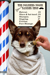 Barber Shop (aussiegall) Tags: shop cream barber shave hairdresser pooch pol pamper