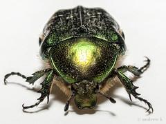 Cetonia aurata (koliru) Tags: color macro nature beauty closeup 35mm ilovenature fan bravo quality insects olympus iloveit cetonia flickrpix aurata abigfave e450