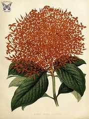 Flame of the woods. Ixora casei. Large scarlet, 8 inch, hydrangea-like flower heads on 6-9 foot tall, evergreen, ever-bloomig shrubs. Native to Micronesia, it is a popular ornamental in tropical countries around the world. (1878)