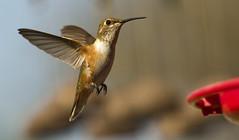 Monsoon Hummer (joecrowaz) Tags: arizona phoenix birds ngc flight feathers explore hummingbirds