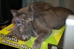 Poof Laying on Gandy (robert_rex_jackson) Tags: sleeping cats nap sleep kittens napping