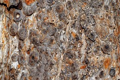 Tallowwood with barkhopper (dustaway) Tags: insect australia bark camouflage nsw eucalyptus lismore myrtaceae insecta hemiptera northernrivers crypsis australiantrees tallowwood eurybrachyidae eucalyptusmicrocorys goonellabah barkhopper gumhopper