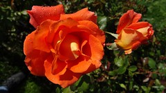 Monica (Amoosed) Tags: flower rose rosa september monica rosegarden 2014 kukka ruusu syyskuu ruusupuisto