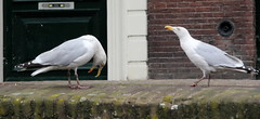 schiedam,boat trip (97) (bertknot) Tags: seagulls schiedam zeemeeuwen schiedamboattrip schiedamrondvaart rondvaartschiedam