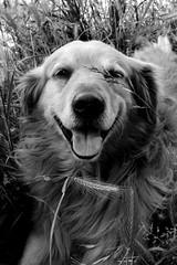 Cobu (Pauli Mora) Tags: bw dog nature animals nikon perro d3100