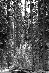 Bright Winter's Day (JB by the Sea) Tags: blackandwhite bw snow canada rockies alberta banff rockymountains lakelouise banffnationalpark canadianrockies september2014