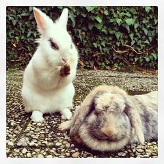 Lekker relaxen... #bunnies (RoelJewel) Tags: rabbit bunny bunnies valencia square squareformat iphoneography instagramapp uploaded:by=instagram