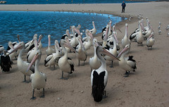 I Am Watching our You All (Jocey K) Tags: sea seagulls pelicans water birds labrador australia queensland goldcoast sandpeople