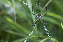 Spider (Andrew Snyder Photography) Tags: nature spider rainforest wildlife web conservation guyana adventure research jungle tropics rupununiriver kanukumountains andrewmsnyder andrewsnyderphotography
