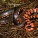 Farancia abacura reinwardtii (Western Mud Snake)