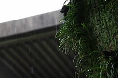 覆う緑も濡れて深く 04 (Yorozuna Yūri / 萬名 游鯏(ヨロズナ)) Tags: tree rain japan shrine rainy nagoya 木 aichi 神社 名古屋 愛知県 樹木 雨 熱田神宮 雨天 atsutashrine