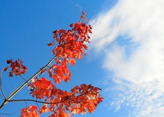 Red Leaves (mswan777) Tags: autumn red sky color tree fall nature colors up leaves clouds forest outdoors nikon michigan scenic polarizer d5100