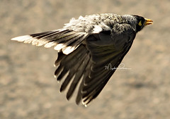 Jet star. (Myphotorose-on and off.. :)) Tags: canoneos7dmarkii ef70300mmf456isusm australiannativebirds noisyminer birdsinbackyards