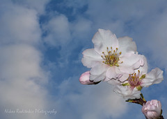 Spring is coming (Nikos Roditakis) Tags: almond flowers spring sprintime nikos roditakis nikon d5200 nikkor af s 55200mm
