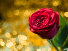 Your love keeps my heart in motion (Karsten Gieselmann) Tags: apertureblending blumen blüten bokeh czjpancolar50mmf18 dof em5markii farbe gold grün kunstlicht licht microfourthirds natur olympus pflanzen rose rot schärfentiefe vintagelens artificiallight blossom color flower golden green kgiesel light m43 mft nature red