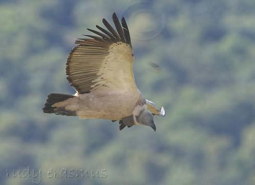 Cape Vulture underwing _1023