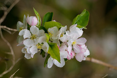 apple blossom (susodediego ) Tags: macro nature soe appleblossom autofocus thegalaxy frameit photosandcalendar sigma150mmf28exhsm nikond300 simplysuperb gnneniyisi oltusfotos panoramafotogrfico flowerarebeautiful faunayfloradelmundo vividstriking mixofflowers rememberthatmomentlevel1 magicmomentsinyourlifelevel1 rememberthatmomentlevel2 rememberthatmomentlevel3 vpul01 infinitexposure