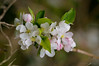 apple blossom (susodediego ) Tags: macro nature soe appleblossom autofocus thegalaxy frameit photosandcalendar sigma150mmf28exhsm nikond300 simplysuperb gününeniyisi olétusfotos panoramafotográfico flowerarebeautiful faunayfloradelmundo vividstriking mixofflowers rememberthatmomentlevel1 magicmomentsinyourlifelevel1 rememberthatmomentlevel2 rememberthatmomentlevel3 vpul01 infinitexposure