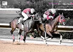 "2014-03-27 (60) r2 Luis Batista on #3 Frenchy the Reb (JLeeFleenor) Tags: horses caballo cheval photography photos uma wv cal westvirginia jockey charlestown jinete cavallo cavalo pferd equestrian kuda alogo equine hest thoroughbreds soos hevonen cuddy paard cavall kon koin 馬 jokey charlestownraces fantino häst ceffyl лошадь jóquei 马 koń faras hestur hollywoodcasino סוס perd người حصان konj кон άλογο घोड़ा capall beygir yarraman dżokej rennreiter жокей pfeerd westvirginiaracing wvracing جُوكِي คนขี่ม้าแข่ง žokej kilparatsastaja jocheu ""경마 ""赛马骑师"" ""競馬騎手"" 기수"" luisabatista"